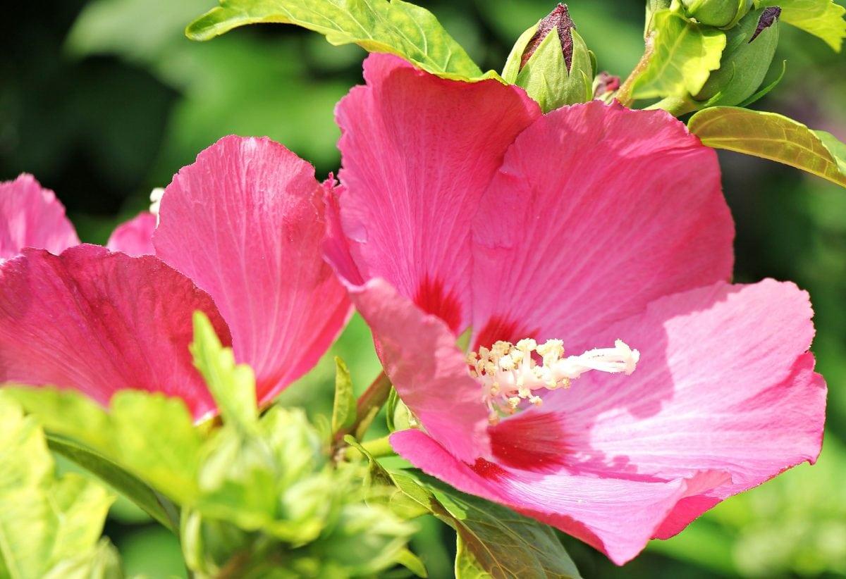 estate, petalo, natura, fiore, ibisco, foglia, giardino, pianta