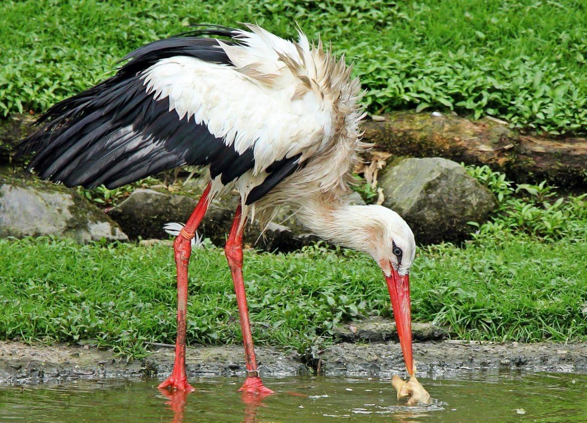 beak, feather, nature, stork, bird, animal, wildlife, wild