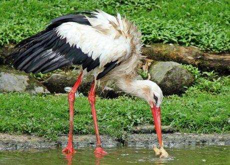 bec, plume, nature, cigogne, oiseau, animal, faune, sauvage