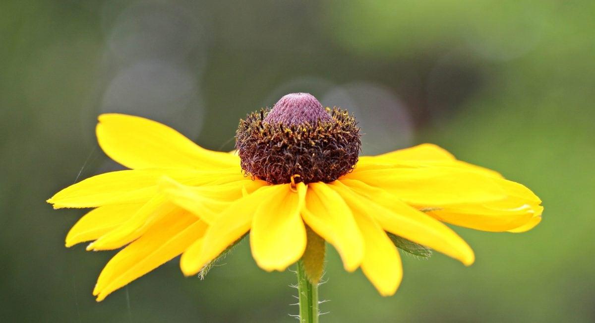 sommer, natur, blomst, solsikke, petal, plante, hage, Bloom