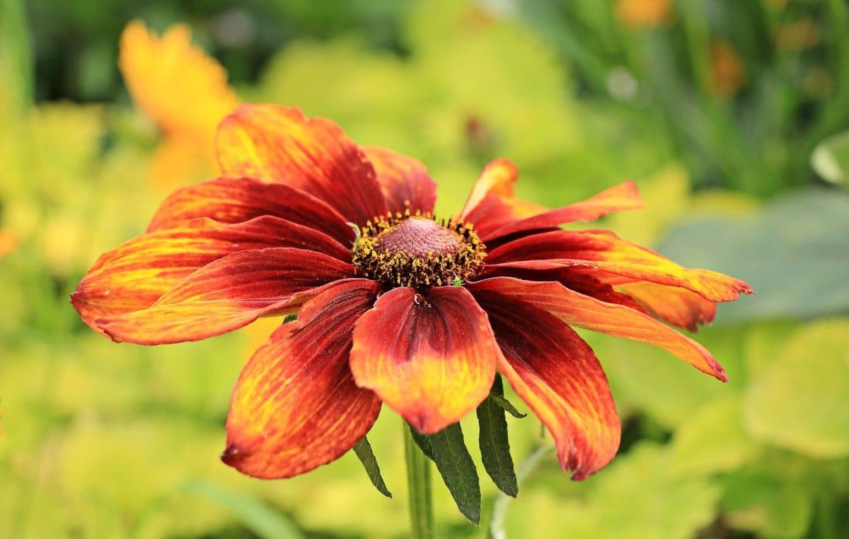 Puutarha, luonto, lehti, kukka, kesä, terä lehti, kasvi