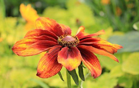 giardino, natura, foglia, fiore, estate, petalo, pianta