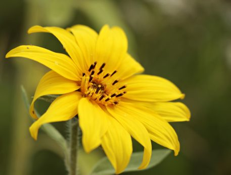 fiore, natura, estate, girasole, pianta, petalo, fiore