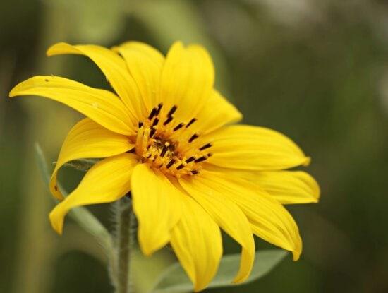 Blume, Natur, Sommer, Sonnenblume, Pflanze, Blütenpracht, Blüte