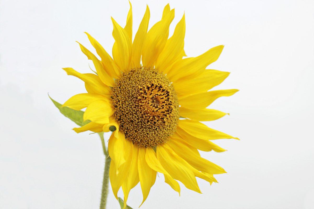 natur, solsikke, sommer, blomst, plante, landbrug, kronblad