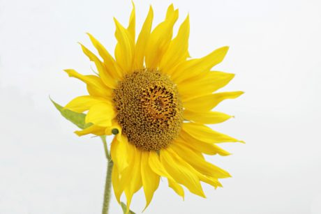 nature, sunflower, summer, flower, plant, agriculture, petal
