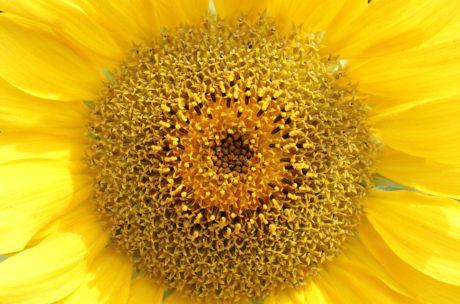 Girasole, fiore, estate, natura, pianta, petalo, sole, fiore