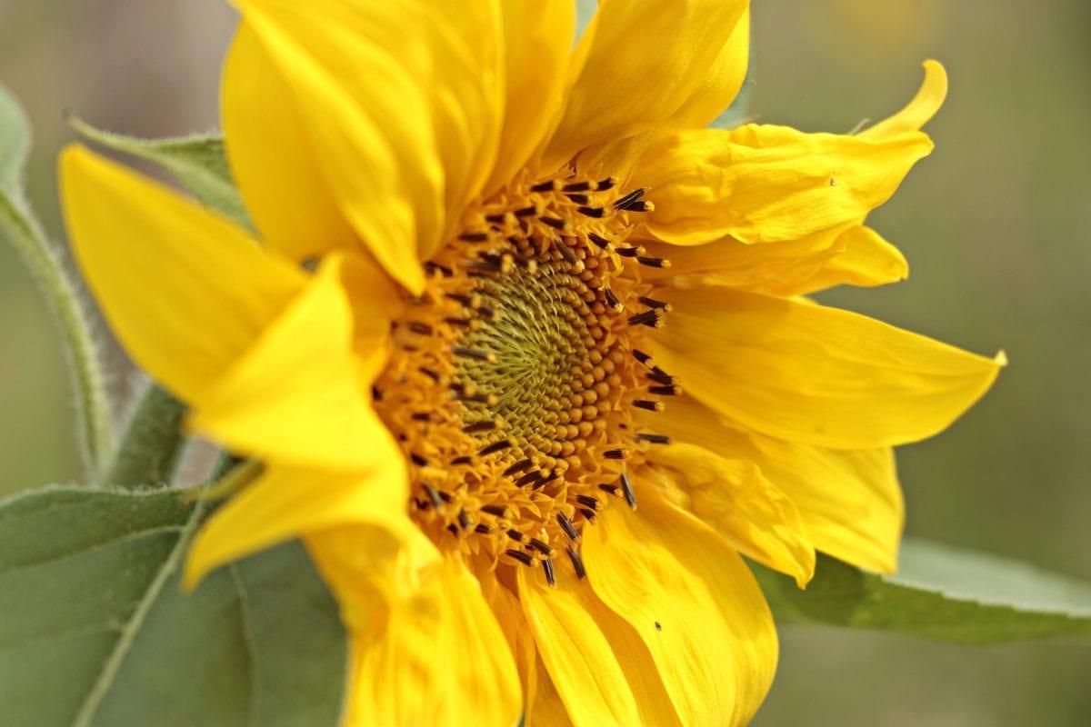 ljeto, vrt, list, priroda, cvijet, suncokret, biljka, latica
