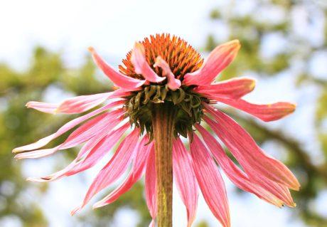 jardín, verano, naturaleza, flor, Pétalo, planta, flor, floración