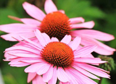 λουλούδι, καλοκαίρι, φύση, πέταλο, Κήπος, άνθος, φυτό, ροζ