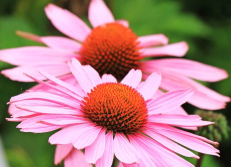 flower, summer, nature, petal, garden, blossom, plant, pink