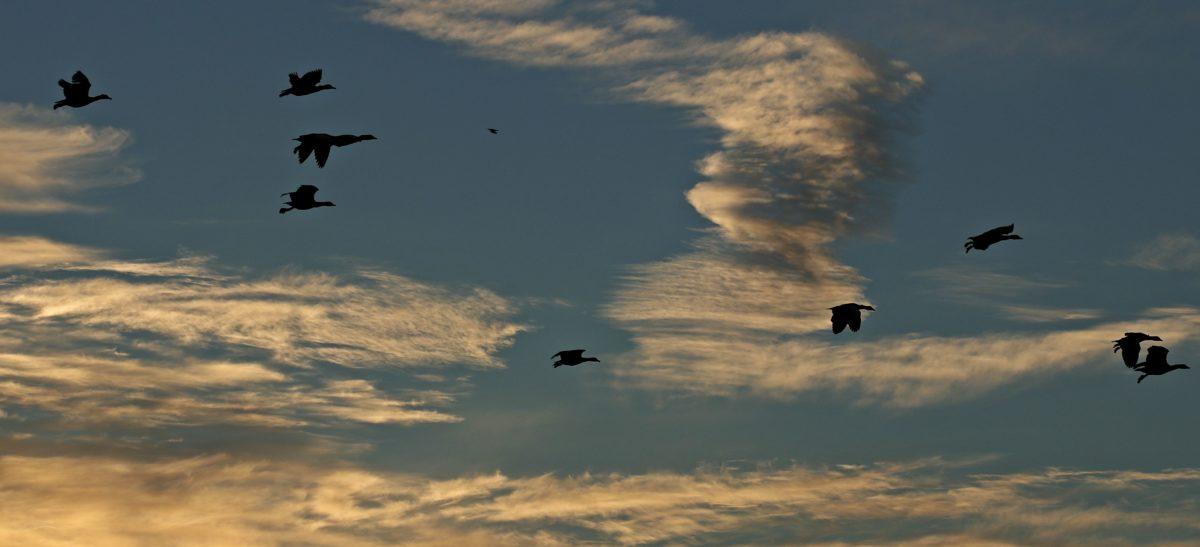 flygning, solnedgång, bakgrundsbelyst, himmel, siluett, fågel, atmosfär