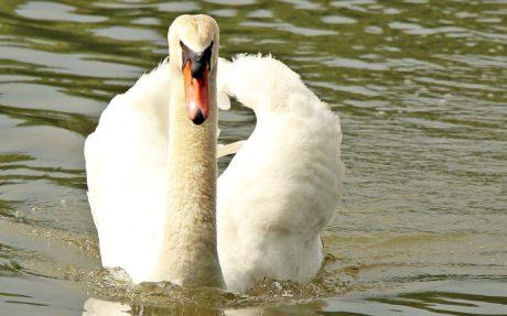 cisne, naturaleza, pájaro, fauna, lago, agua, animal, pico