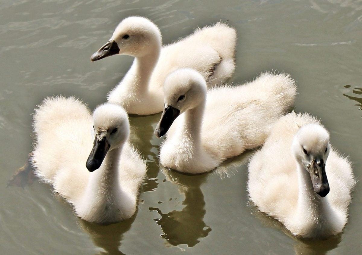 white swan, wildlife, lake, waterfowl, bird, water