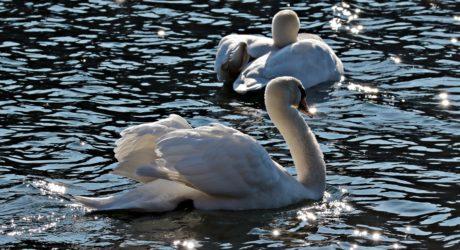 природа, птица, река, езеро, дива природа, лебед, вода, отражение