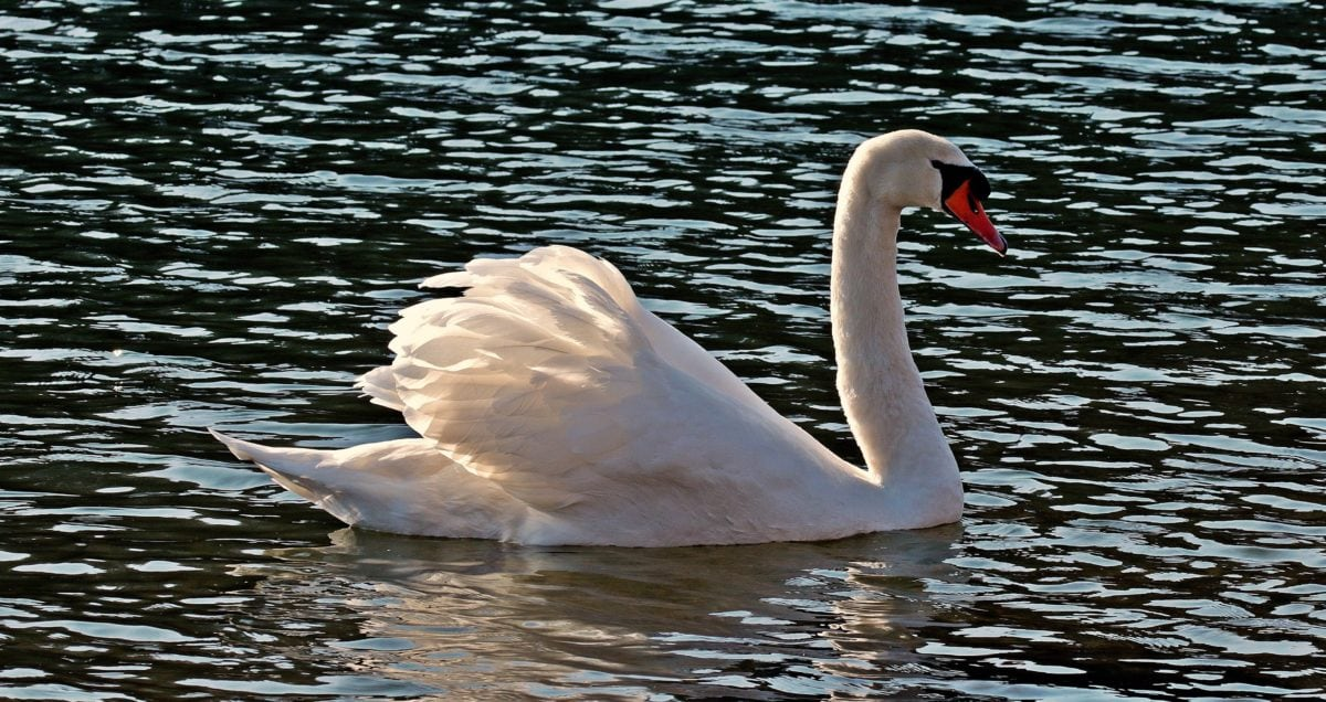 water, swan, lake, nature, bird, wildlife, pond, beak