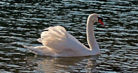 vatten, svan, sjö, natur, fågel, djurliv, damm, näbb