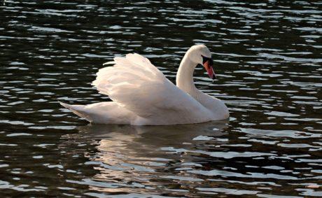 lake, bird, water, swan, wildlife, beak, waterfowl