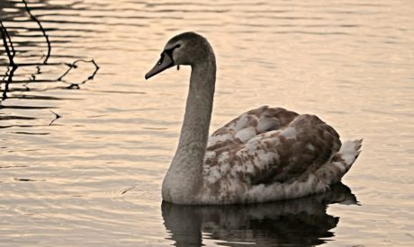 bird, swan, lake, reflection, water, waterfowl, goose