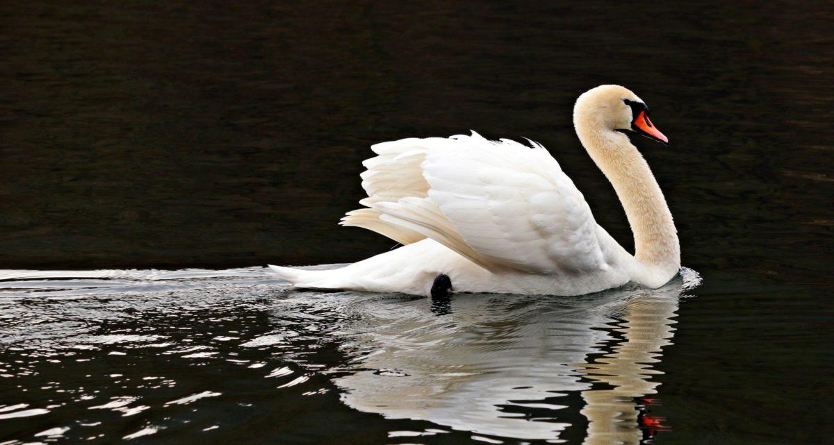 lake, water, swan, bird, wildlife, beak