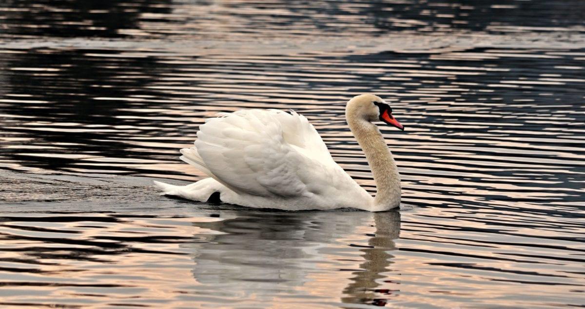 wildlife, waterfowl, water, swan, bird, lake, beak