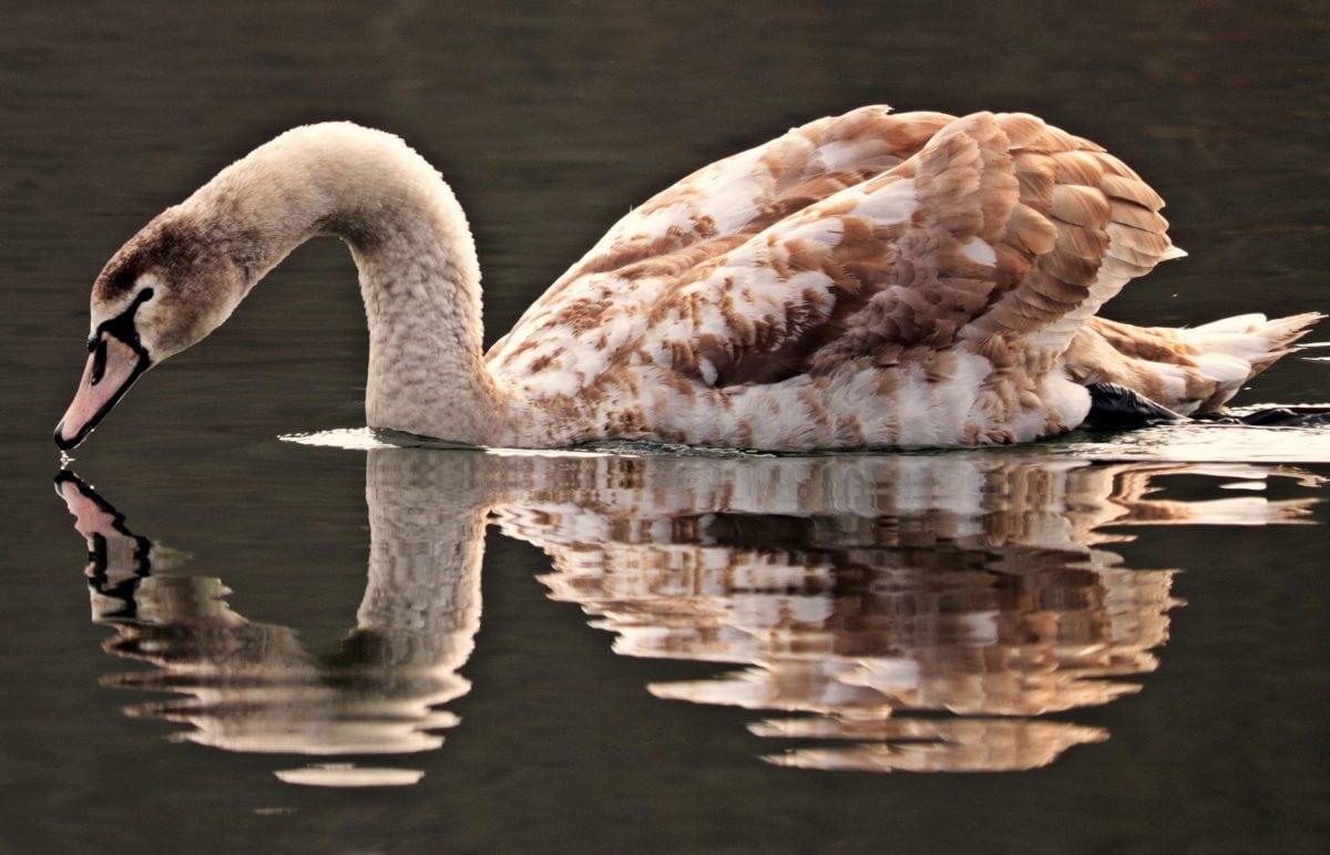 wildlife, bird, nature, goose, waterfowl, lake, water