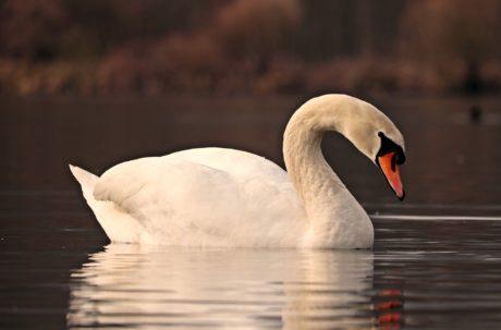 Vogel, Wasservögel, Schwan, Wasser, See, Tierwelt