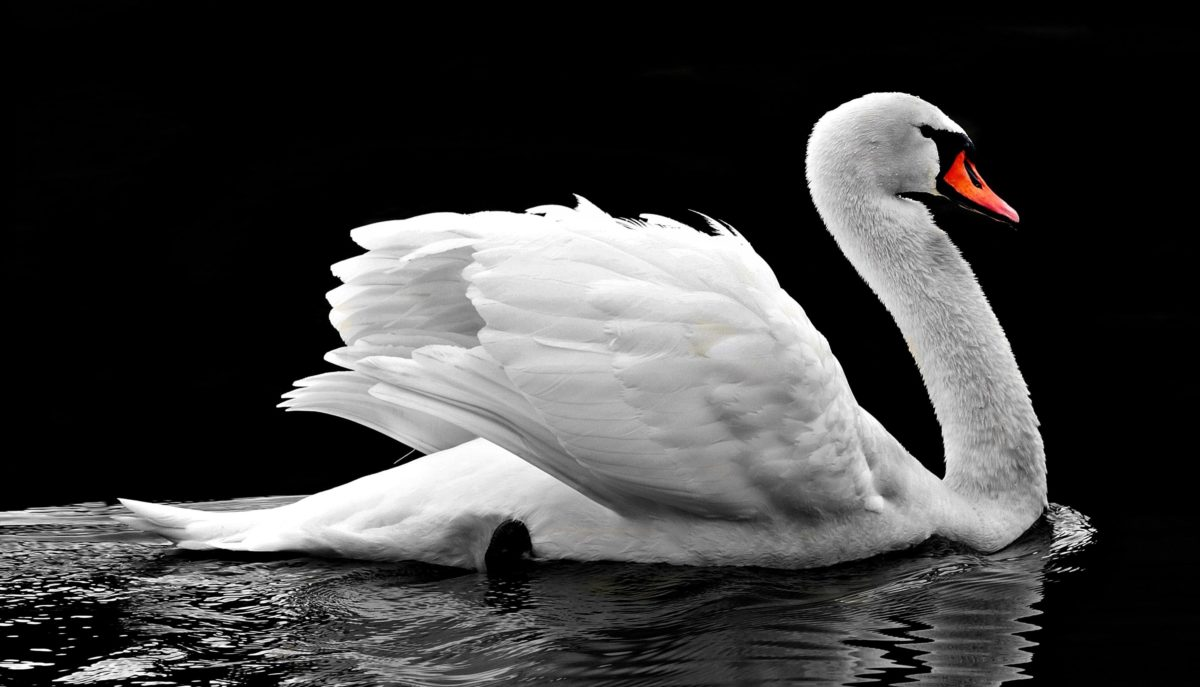 lake, nature, swan, bird, water, white, goose, beak, feather