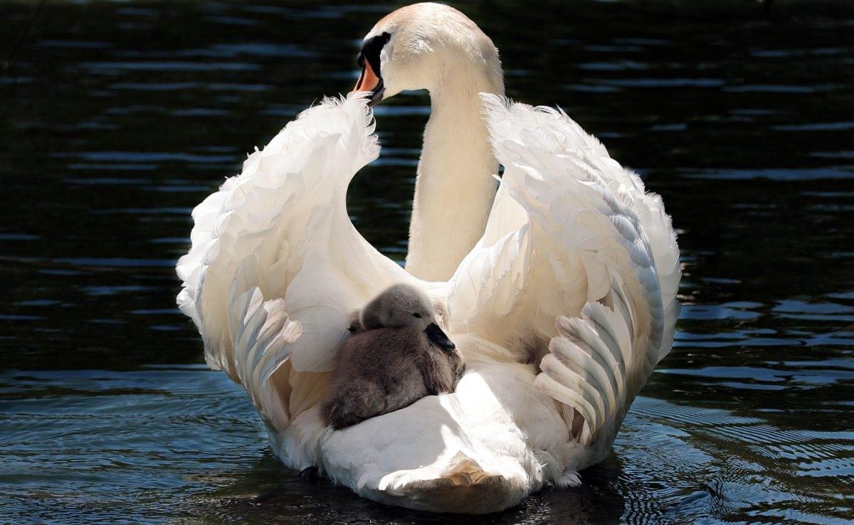 cygne, faune, sauvagine, OIE, eau, lac, oiseau