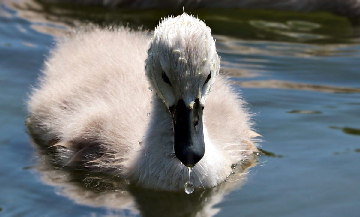 white swan, water, wildlife, nature, bird, waterfowl, beak