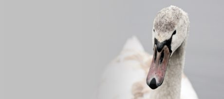 nature, white swan, wildlife, bird, waterfowl, beak