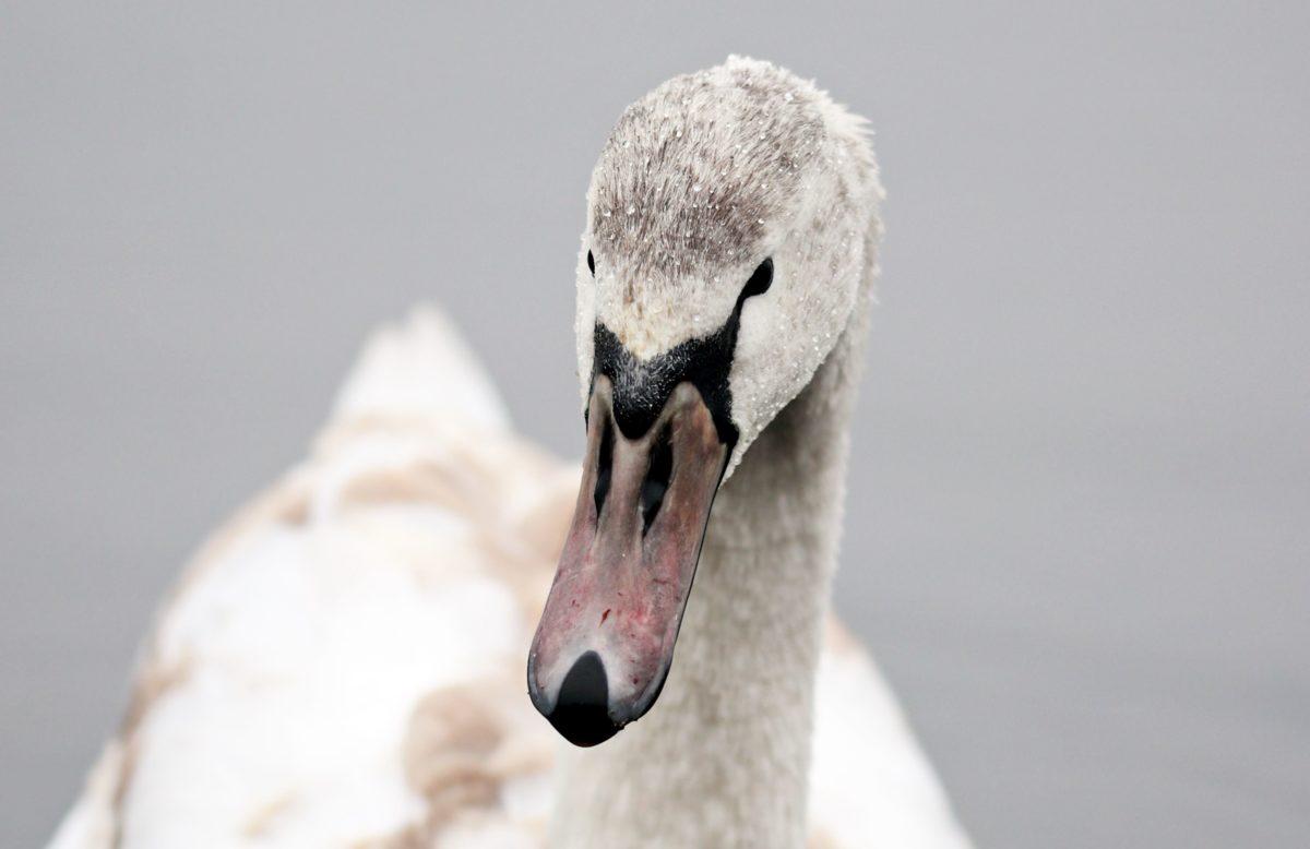 white swan, waterfowl, bird, nature, water, wildlife, beak