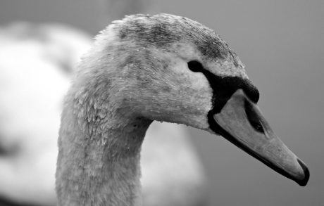 bird, white swan, nature, monochrome, portrait, wildlife