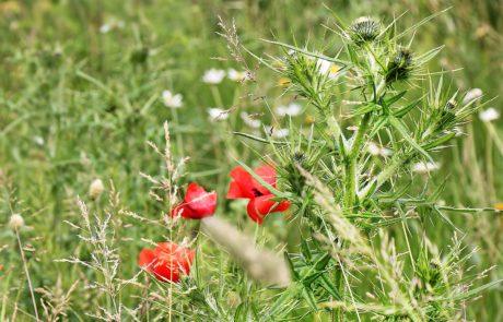 природа, лято, листа, червено цвете, трева, поле, ливада, растение
