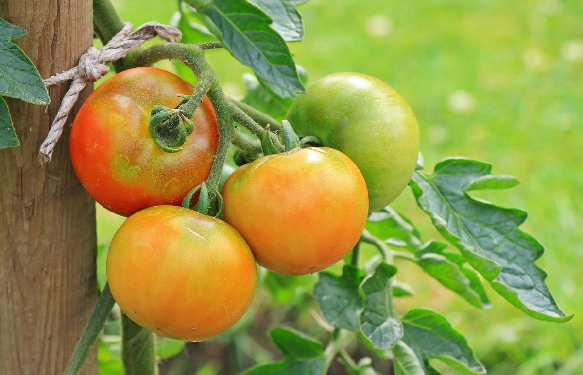 nutrition, food, delicious, nature, tomato, green leaf