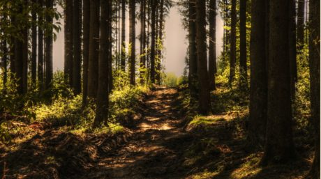 forest, tree, wood, landscape, dawn, daylight, leaf, nature, mist