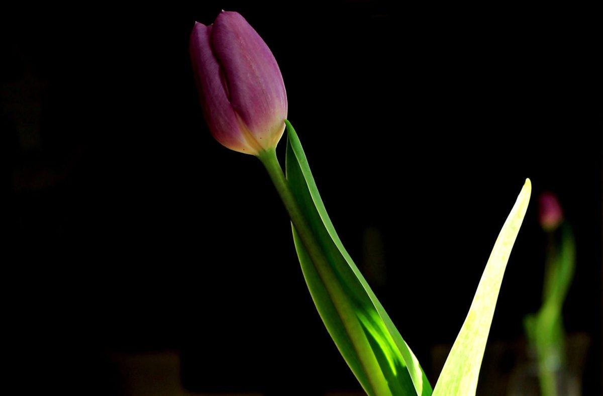 nature, flower, tulip, leaf, plant, petal, blossom, bloom