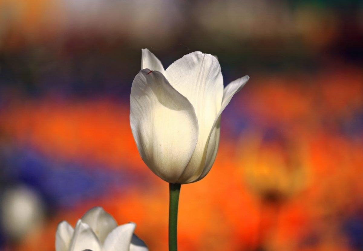 ดอกไม้, ธรรมชาติ, สีขาว, กลีบดอก, ทิวลิป, พืช, ดอก