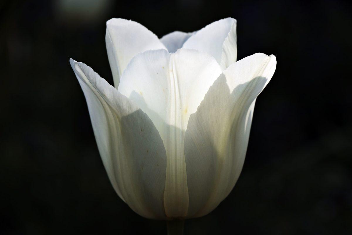 white tulip, flower, nature, white, shadow, petal, blossom, bloom, plant