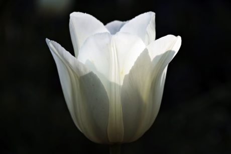 white tulip, flower, nature, white, shadow, petal, blossom, bloom, plant
