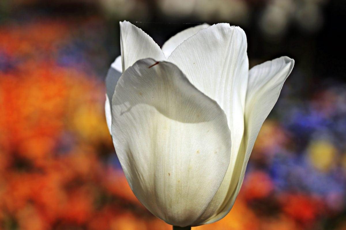 nature, flower, garden, tulip, white, plant