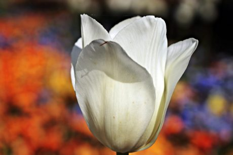 nature, flower, garden, tulip, white, plant
