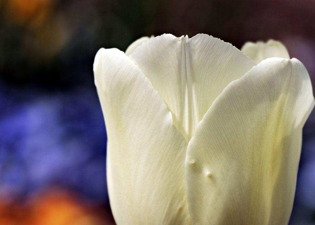 kwiat, natura, Tulipan, biały, Płatek