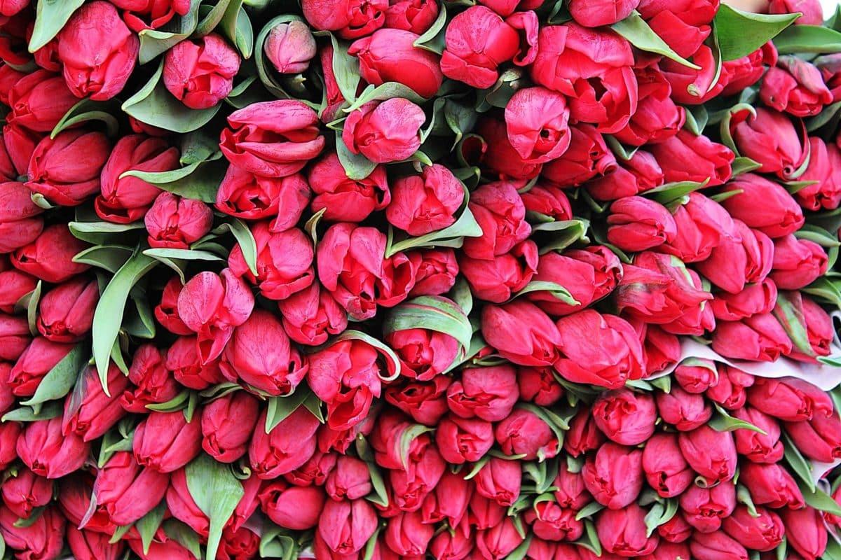 tulipán rojo, ramo, jardín, flor, hoja, naturaleza, Pétalo