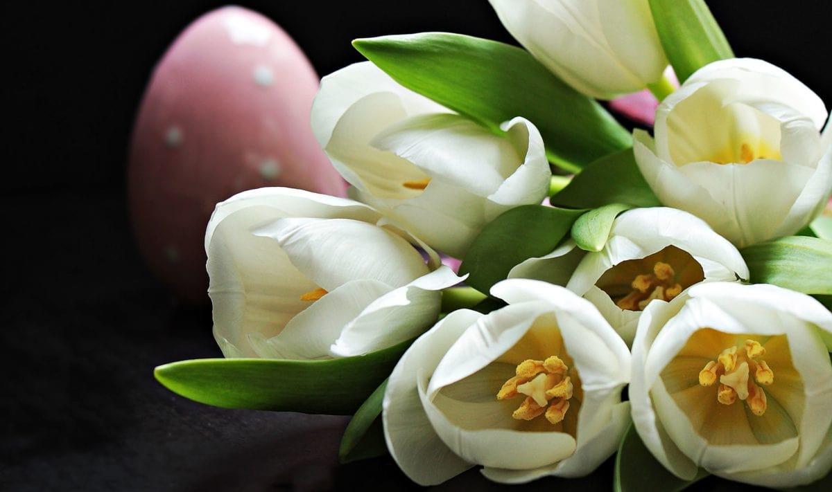 leaf, flower, nature, white, tulip, petal, blossom, plant