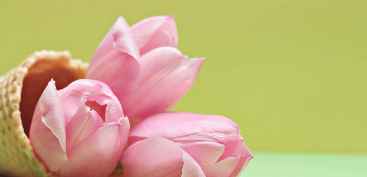 цвете, природа, розово, венчелистче, Лале, растение, цвят