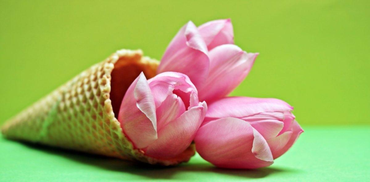 blomst, tulipan, rosa, plante, kronblad, blomst, blomst