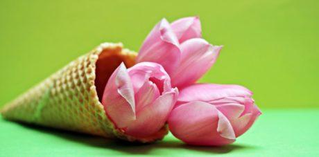 květina, Tulipán, růžová, rostlina, okvětní lístek, květ, květ