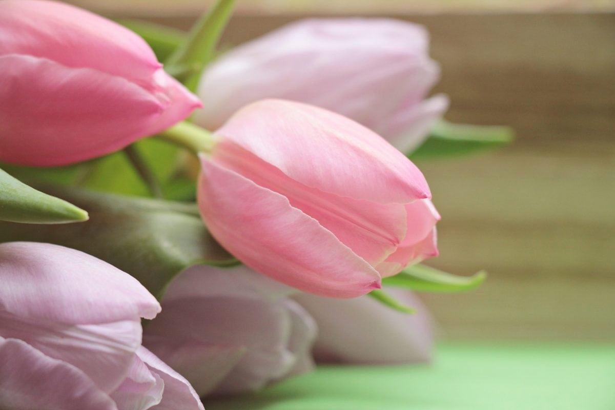 kwiat, Płatek, Tulipan, natura, ogród, liść, różowy, roślina