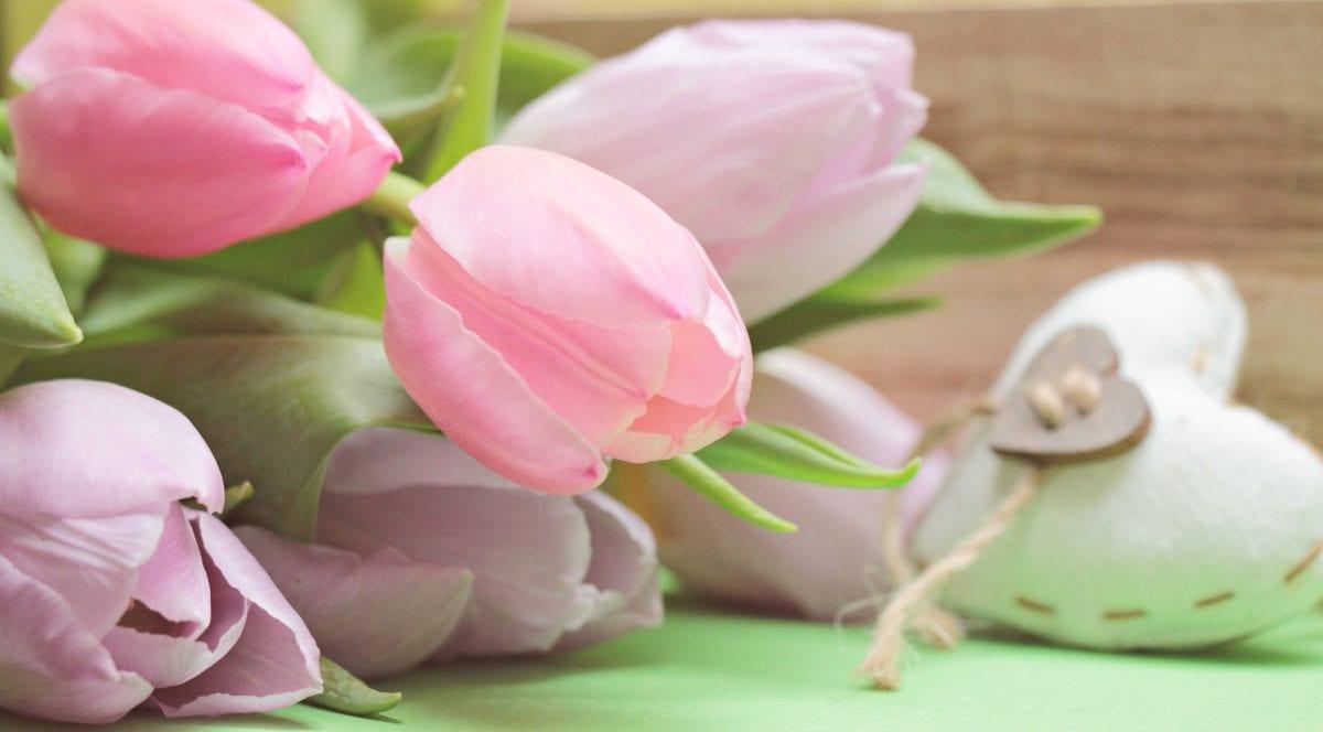 nature, flower, beautiful, petal, pink, tulip, blossom